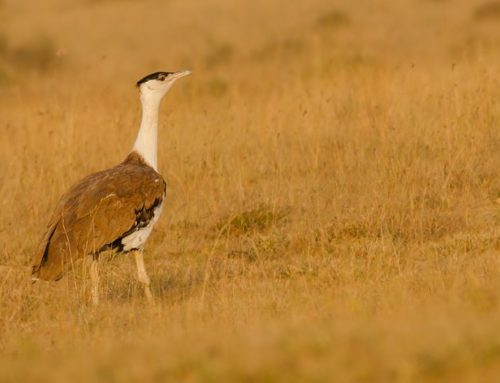 The Great Indian Bustard: can it be saved from the brink of extinction?